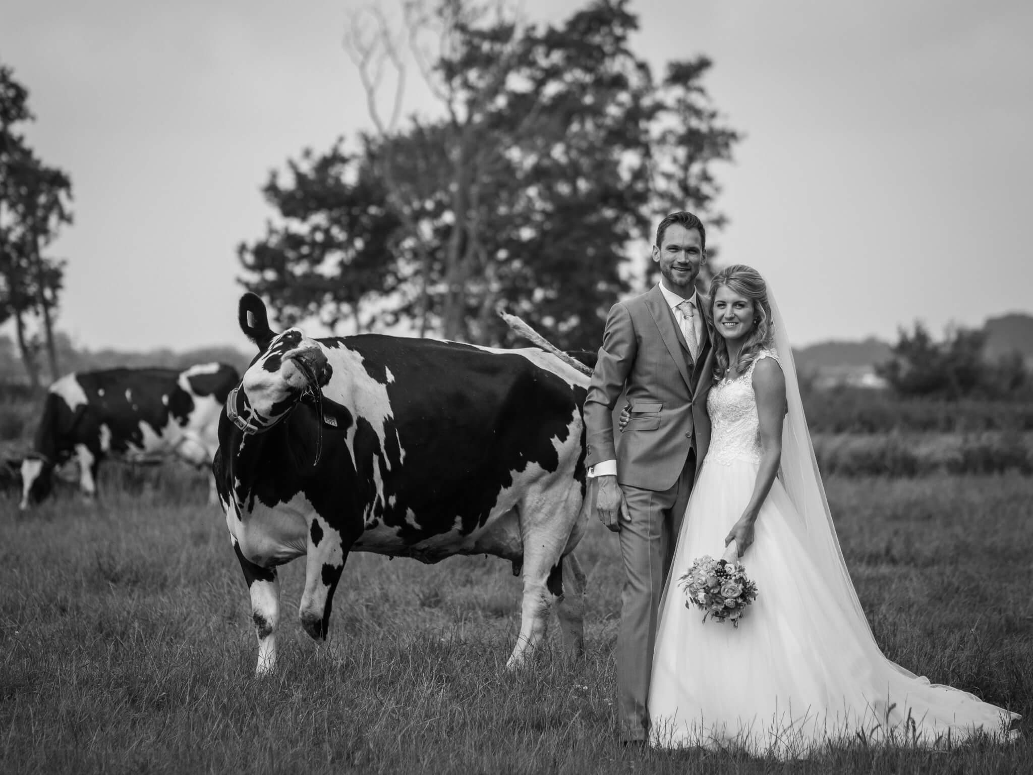 Bruidspaar bij koeien